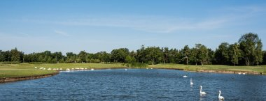 Panoramic shot of white swans swimming in lake near green park stock vector