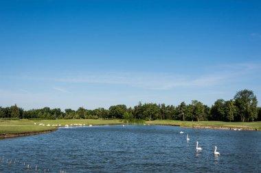 Flock of white swans swimming in lake near green park stock vector