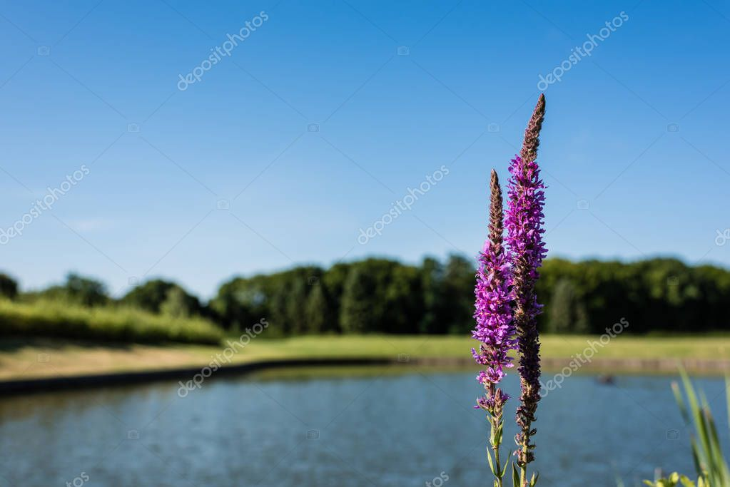 Selective focus of purple blooming lupines in park stock vector