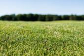 a zöld friss fű szelektív fókusza a nyári időszakban