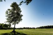 selektivní zaměření stromu se zelenými listy na trávě v parku proti modrému nebi