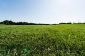 selektivní zaměření zelené trávy poblíž stromů proti obloze v parku