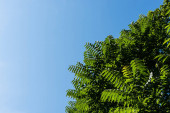 bottom view of green leaves on tree against blue sky