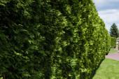 selektivní zaměření slunečního záření na zelené jedle s jehlami