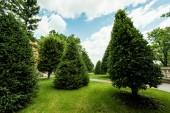 Fotografie zelené borovicemi na čerstvé trávě proti modré obloze s mraky