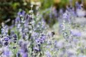 selective focus of blooming purple lavender flowers in summer