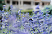 selective focus of blossoming purple lavender flowers in summertime