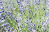 selective focus of bee on blooming purple lavender flowers in summertime