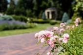 selektivní zaměření růžového kvetoucí hydrangeje blízko cesty v parku