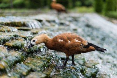 Selective focus of wild bird standing on stones in river with flowing water stock vector