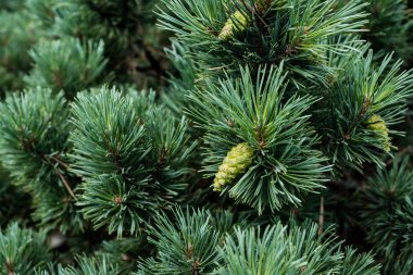 close up of needles on green pine tree with pine cones in summer