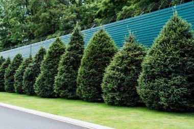 fluffy green fir trees on grass near fence in summertime