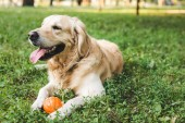 selective focus of cute golden retriever lying on meadow with ball
