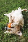 Golden Retriever spielt auf Wiese mit Ball