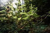 selektivní zaměření slunečního záření na zelené čerstvé listy v lesích