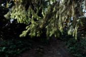 napsütés az örökzöld fenyőfa ágában