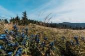 Fényképek kék vadvirágok területén közelében zöld fák ég ellen