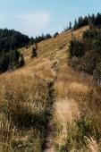 zlaté pole s ječmene na kopci nedaleko zelených borovic