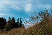 alacsony látószögű nézet arany rét a hegyen a zöld fák a kék ég