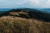Fotografie zlaté pole v okolí stálezelených jedlí na kopcích