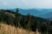 selective focus of fir trees in mountains near lawn against sky