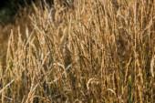 selektivní zaměření žlutého ječmene na zlaté louce
