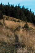 abeti verdi vicino prato giallo con orzo sulla collina