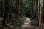 selektivní zaměření slunečního svitu na pěšinu u jedlí v lesích