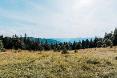 Pine trees in golden field in mountain valley stock vector
