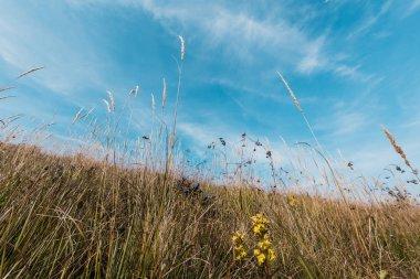 Yellow blooming wildflowers in field against sky stock vector
