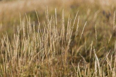 Selective focus of barley in golden field stock vector