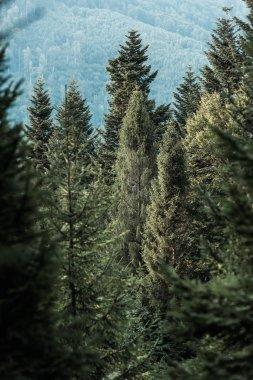 Selective focus of green pine trees in woods stock vector
