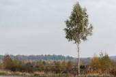 zöld nyírfa friss levelekkel a nyugodt erdő közelében