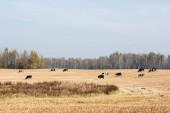Fényképek tehéncsorda áll a mezőn a kék ég ellen