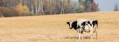 Fotografie panoramatická plodina černobílé krávy stojící na poli