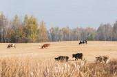 szelektív fókusz a tehenek bikák álló területen ellen kék ég