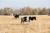 a legelőn álló tehénállomány szelektív fókusza a kék ég ellen