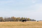Fényképek a kék ég elleni mezőn álló bikacsorda és tehén