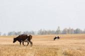 tehenek sétálnak a mezőn a szürke ég ellen