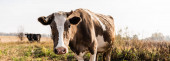 Fotografie horizontální úrodu krávy při pohledu na kameru při stání v poli