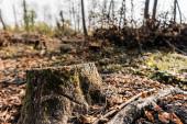 szelektív fókusz száraz levelek közelében fatönk az erdőben