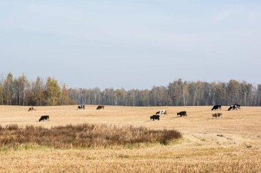 Herd of cows standing in field against blue sky stock vector