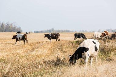Selective focus of herd of cows and bulls standing in pasture stock vector