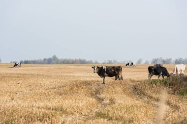 Selective focus of herd of bulls and cows standing in pasture stock vector