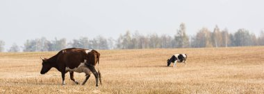 Horizontal image of cows walking in field against grey sky stock vector