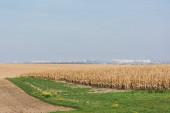 zlaté žitné pole blízko zelené trávy proti modré obloze