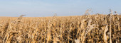 panoramic crop of corn field with with dry leaves against blue sky