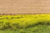 žluté květy kvetoucí poblíž zlatého žitného pole