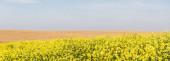panorámás tájolása sárga virágok virágzó közelében arany rozs mező