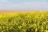 žluté květy kvetou poblíž zlatého pole